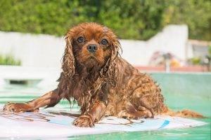 สระว่ายน้ำสำหรับสุนัข